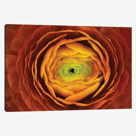 Ranunculus Asiaticus Canvas Print #OXM2857} by Victor Mozqueda Canvas Artwork