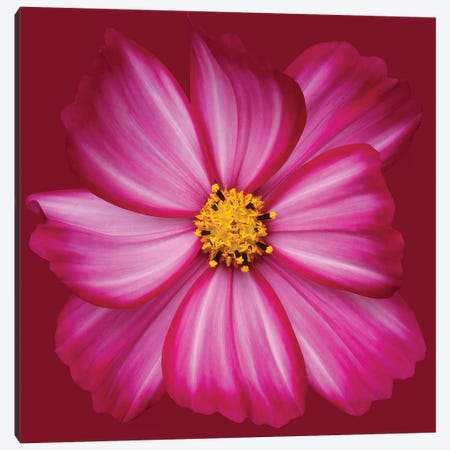 Cosmos Canvas Print #OXM2939} by Brian Haslam Canvas Art