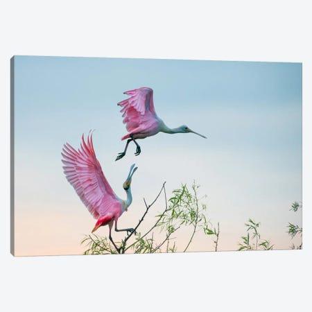 Rosy Pair (Roseate Spoonbills) Canvas Print #OXM2940} by C. Mei Art Print