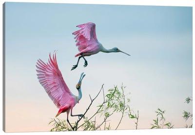 Rosy Pair (Roseate Spoonbills) Canvas Art Print
