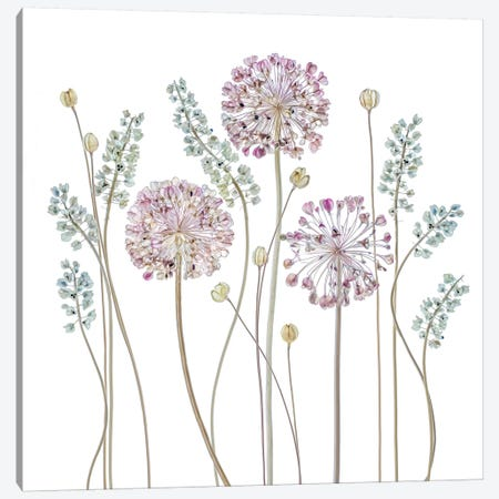 Allium Canvas Print #OXM3100} by Mandy Disher Canvas Art