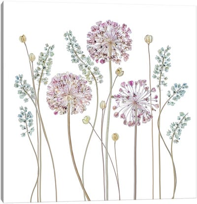 Allium Canvas Art Print