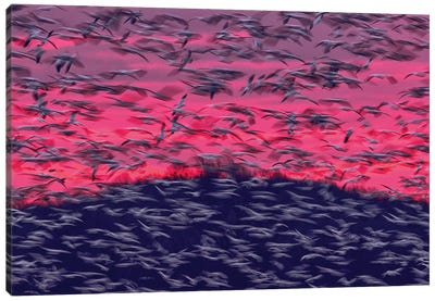 Migrating Snow Geese In Slow Motion Canvas Art Print