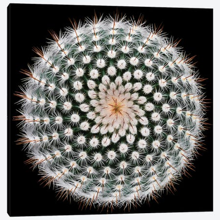 Notocactus Scopa Canvas Print #OXM3225} by Victor Mozqueda Canvas Art