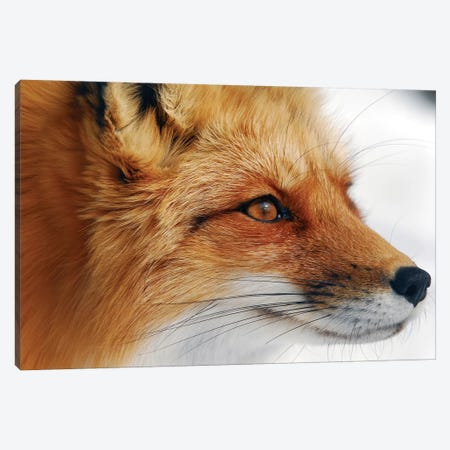 Red Fox Canvas Print #OXM3253} by Alain Turgeon Canvas Art