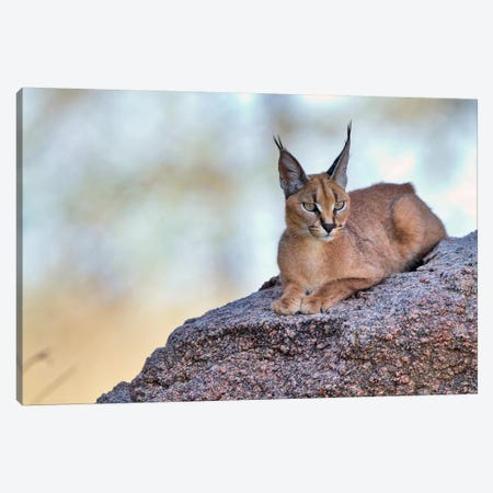 Caracal Canvas Print #OXM3257} by Alessandro Catta Canvas Print