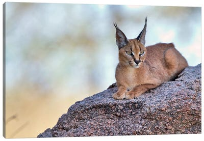 Caracal Canvas Art Print