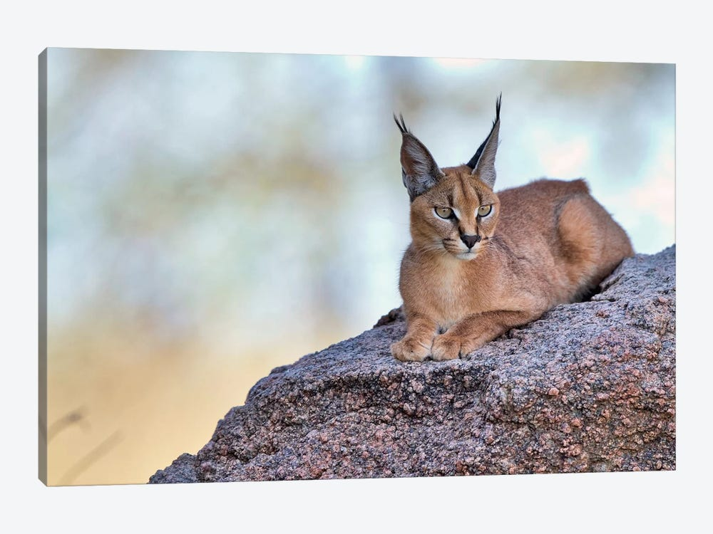 Caracal by Alessandro Catta 1-piece Canvas Artwork