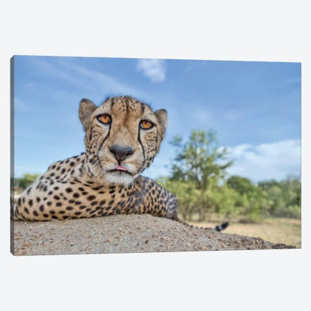 Hungry Cheetah Canvas Print #OXM3258} by Alessandro Catta Canvas Artwork