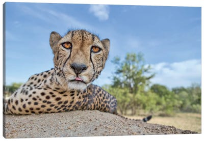 Hungry Cheetah Canvas Art Print