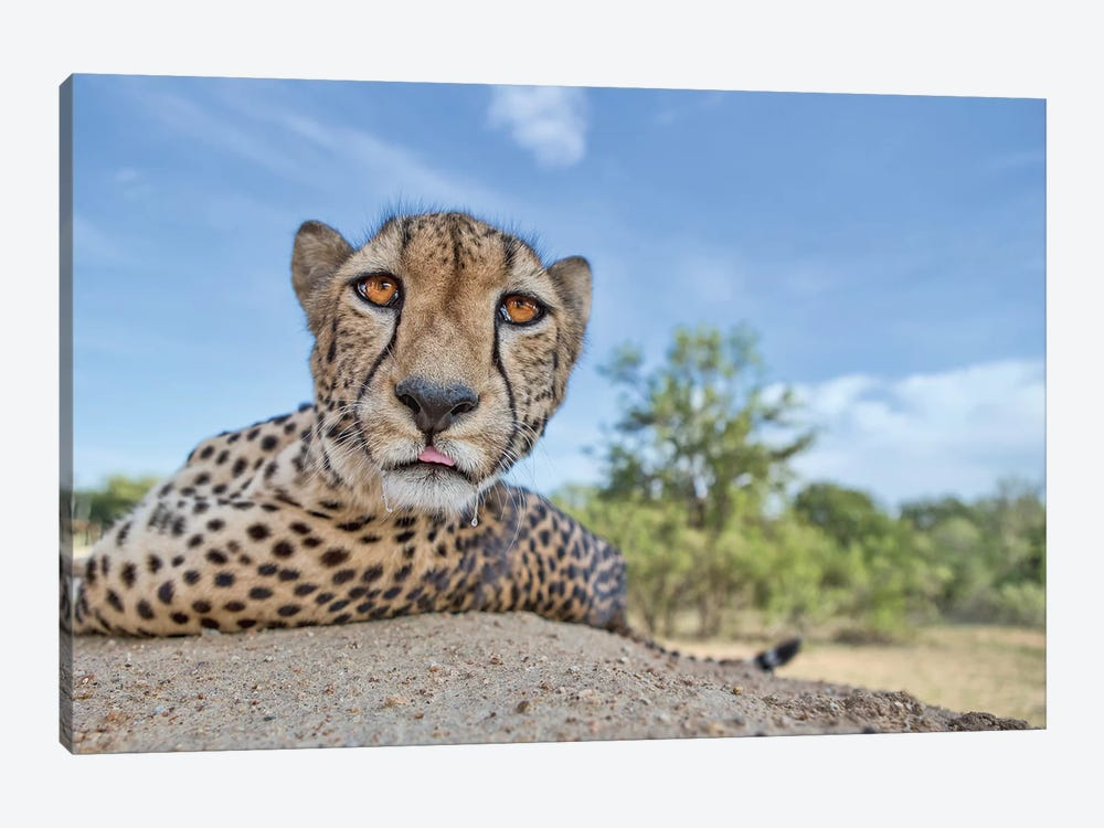 Hungry Cheetah by Alessandro Catta 1-piece Canvas Print