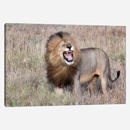 Lion Canvas Print #OXM3259} by Alessandro Catta Canvas Wall Art
