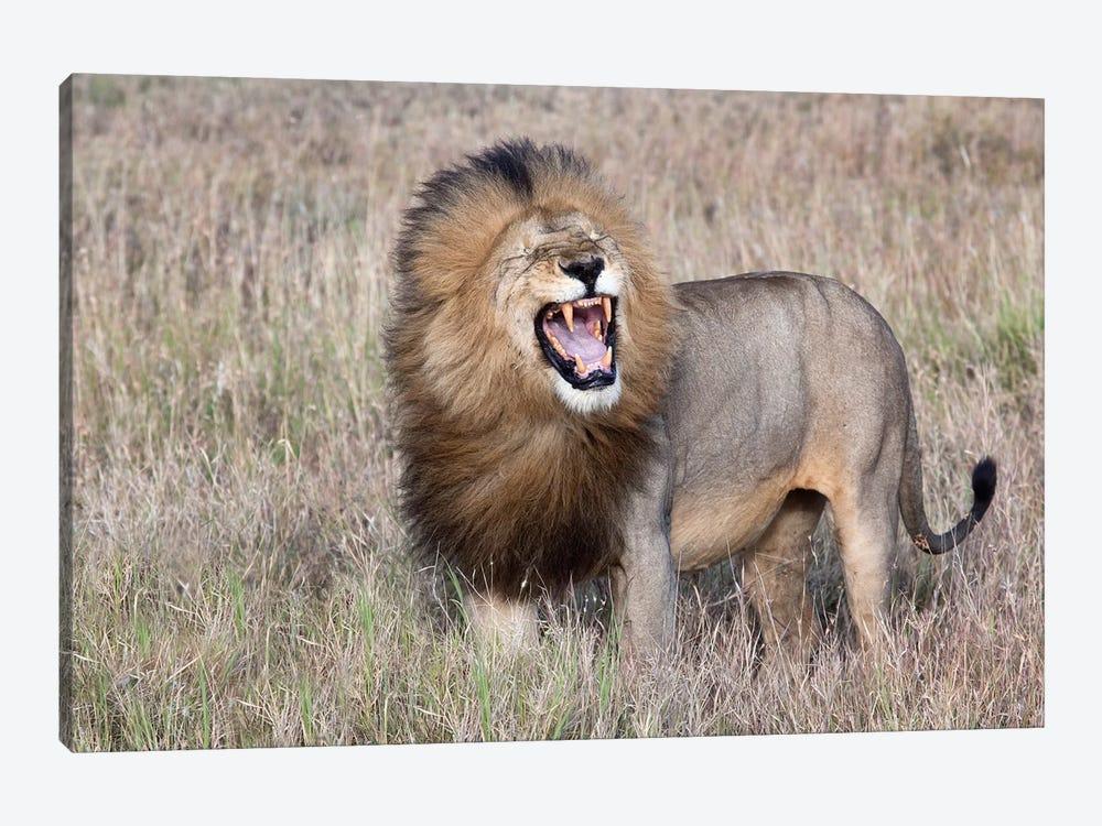 Lion by Alessandro Catta 1-piece Canvas Art