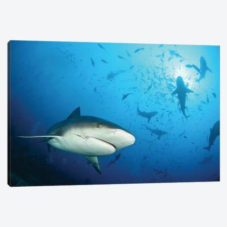 Beqa Shark Labs Canvas Print #OXM3264} by Alexander Safonov Canvas Wall Art