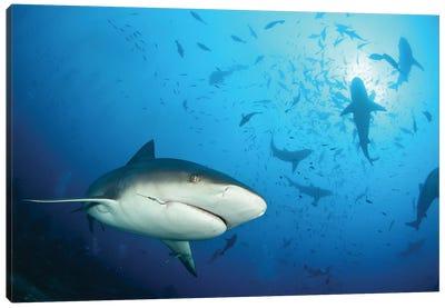 Beqa Shark Labs Canvas Art Print