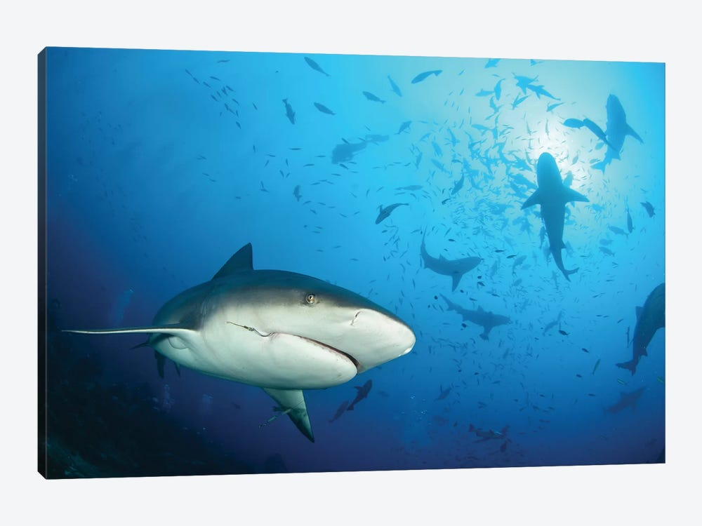 Beqa Shark Labs by Alexander Safonov 1-piece Canvas Artwork