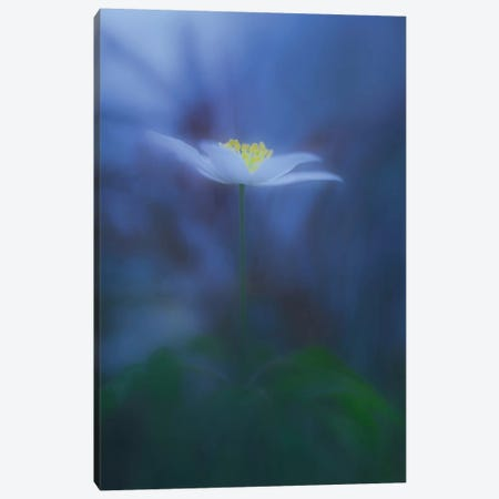 Wood Anemone Canvas Print #OXM3280} by Allan Wallberg Canvas Print