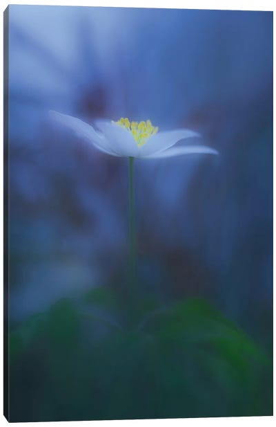 Wood Anemone Canvas Art Print