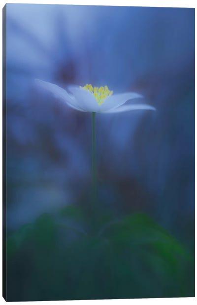 Wood Anemone Canvas Art Print