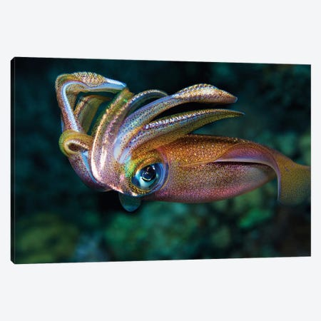 Squid Canvas Print #OXM3305} by Anna Shvab Art Print
