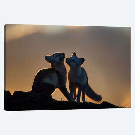 Arctic Fox Canvas Print #OXM3316} by Arne K Mala Canvas Wall Art
