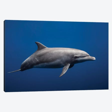 Dolphin Canvas Print #OXM3324} by Barathieu Gabriel Canvas Art Print