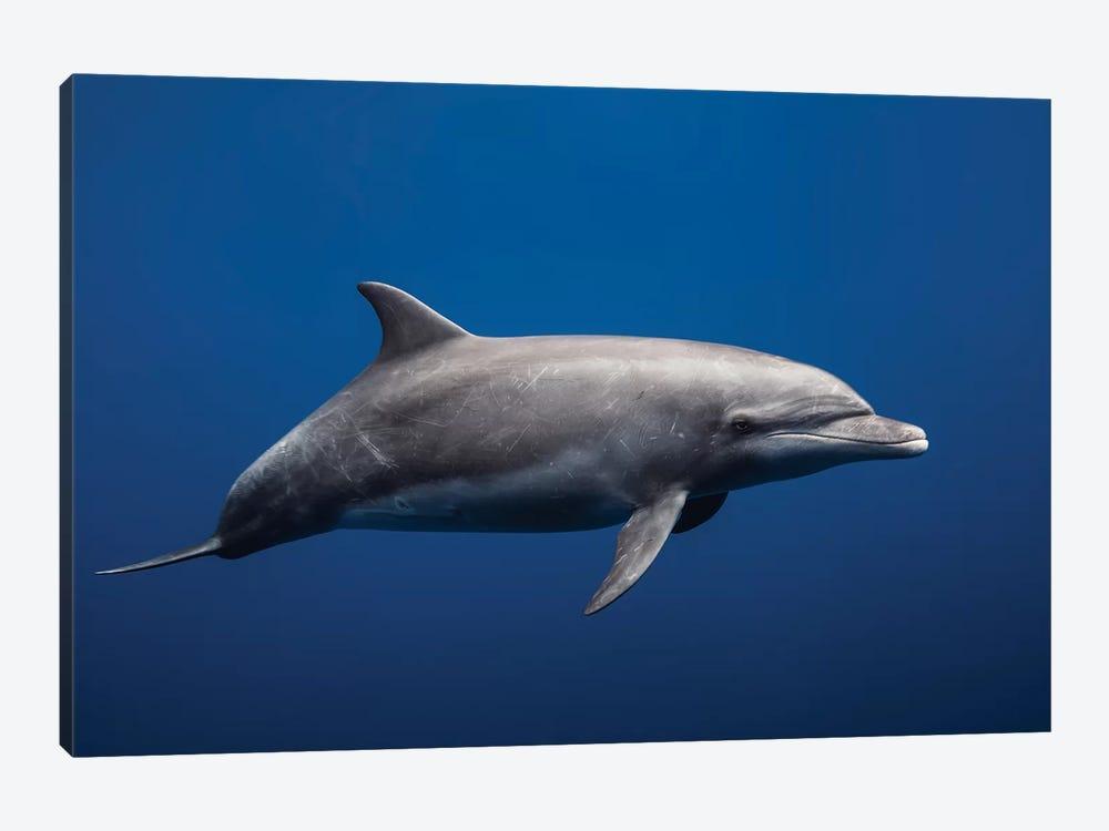 Dolphin by Barathieu Gabriel 1-piece Canvas Print