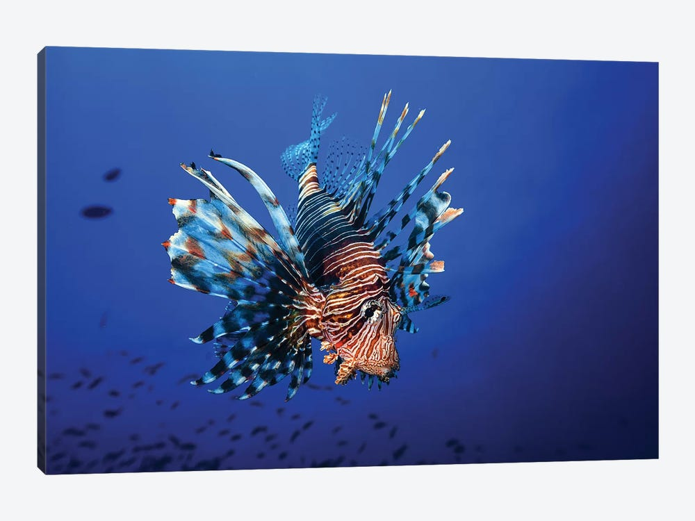 Lionfish by Barathieu Gabriel 1-piece Canvas Wall Art