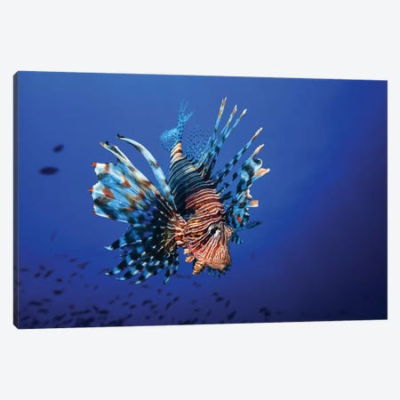 Lionfish Canvas Print #OXM3327} by Barathieu Gabriel Art Print