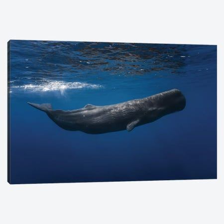Sperm Whale Canvas Print #OXM3328} by Barathieu Gabriel Canvas Artwork