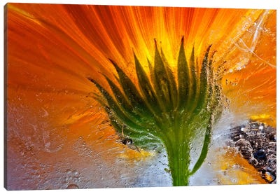 Frozen Marigold Canvas Art Print