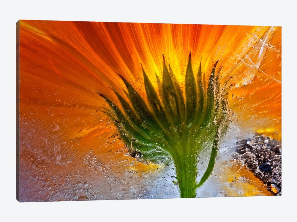 Frozen Marigold by Secundino Losada 1-piece Canvas Print