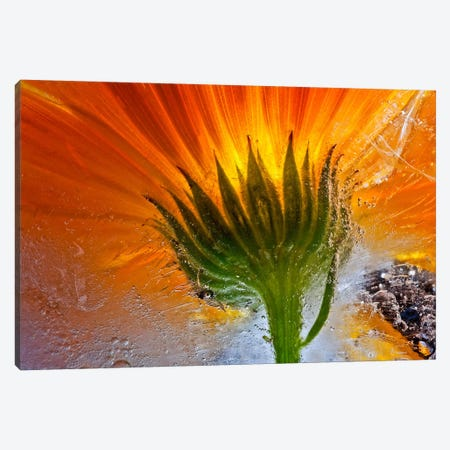 Frozen Marigold Canvas Print #OXM344} by Secundino Losada Canvas Wall Art