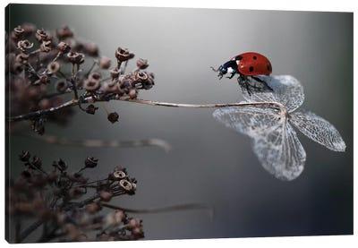 Ladybird On Hydrangea Canvas Art Print