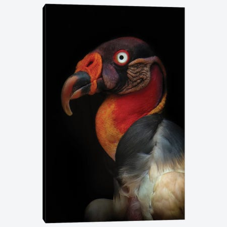King Vulture (Sarcoramphus Papa) Canvas Print #OXM3490} by Ferdinando Valverde Canvas Artwork