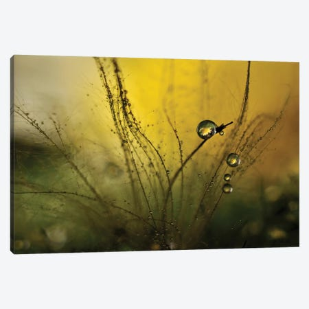 A Golden Morning Shower Canvas Print #OXM3542} by Heidi Westum Canvas Art