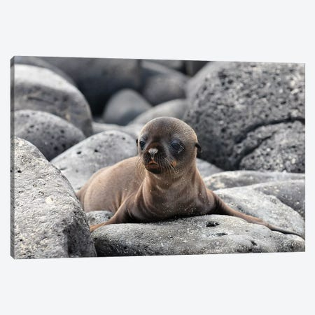 Galapagos Sea Lion Pup Canvas Print #OXM3577} by Ilan Ben Tov Canvas Artwork