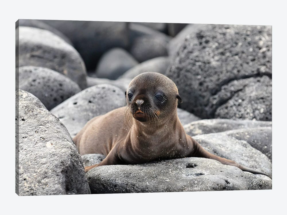 Galapagos Sea Lion Pup by Ilan Ben Tov 1-piece Canvas Print