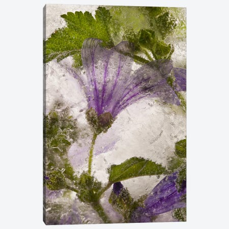 Frozen Mallow Flower Canvas Print #OXM357} by Secundino Losada Canvas Print