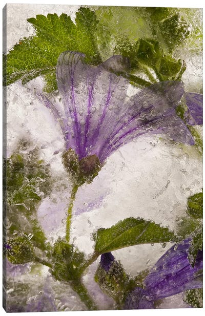 Frozen Mallow Flower Canvas Art Print
