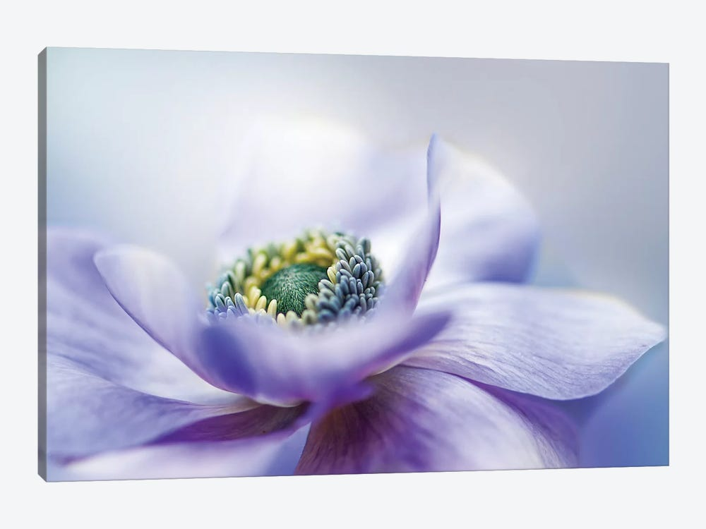 Anemone De Caen by Jacky Parker 1-piece Canvas Art