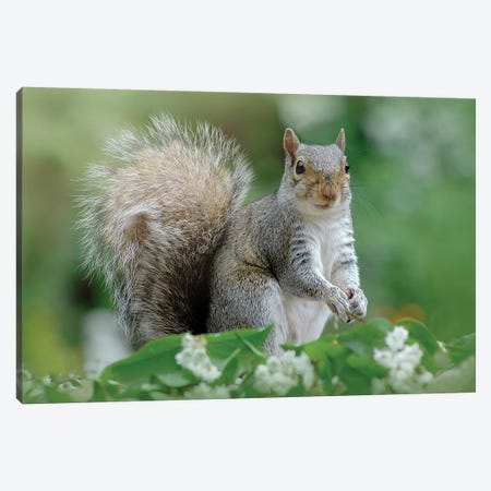 Eastern Grey Squirrel Canvas Print #OXM3598} by Jacky Parker Canvas Print