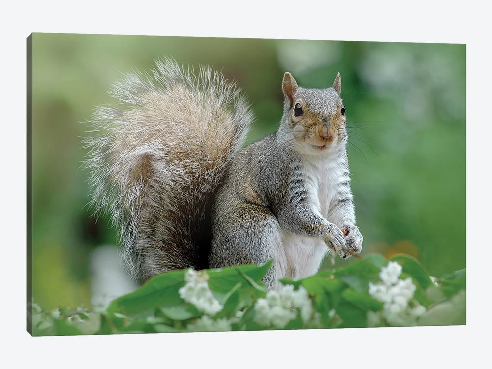 Eastern Grey Squirrel by Jacky Parker 1-piece Canvas Art
