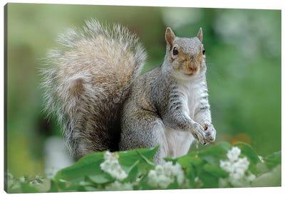 Eastern Grey Squirrel Canvas Art Print