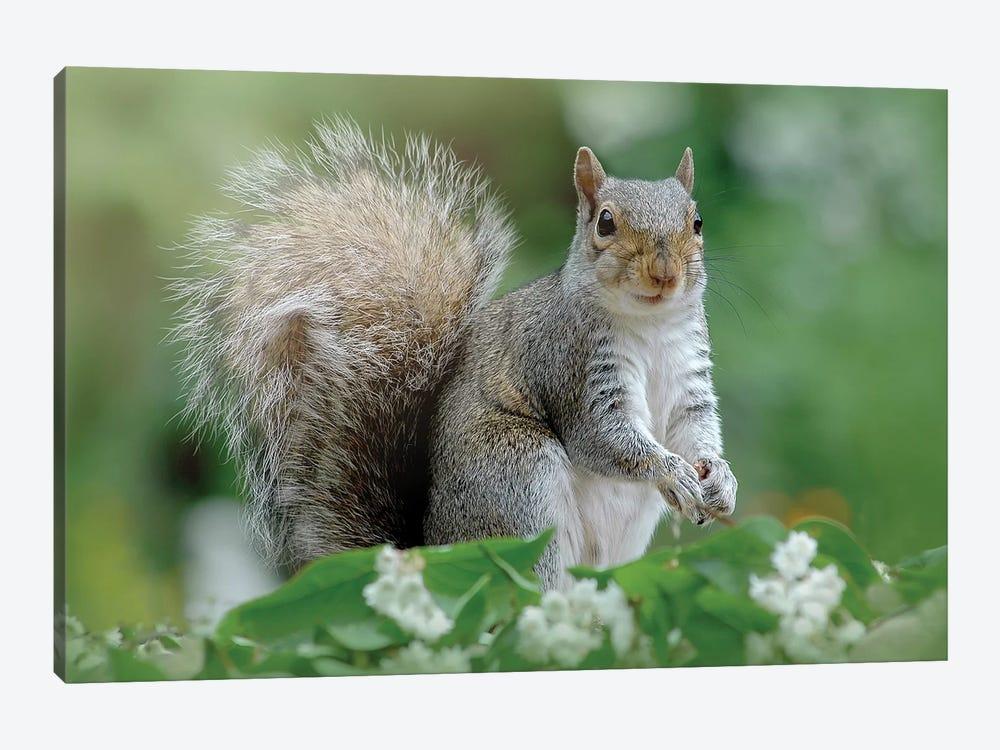 Eastern Grey Squirrel by Jacky Parker 1-piece Canvas Art
