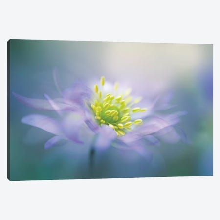 Windflower II Canvas Print #OXM3600} by Jacky Parker Canvas Print