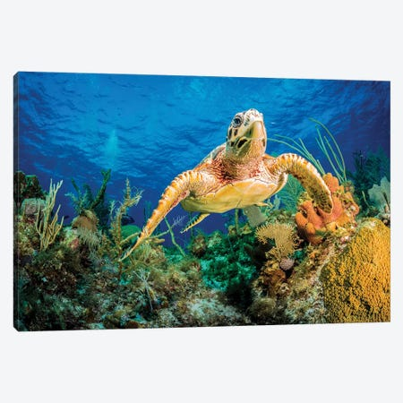 Hawksbill Turtle Swimming Through Caribbean Reef Canvas Print #OXM3607} by Jan Abadschieff Canvas Artwork