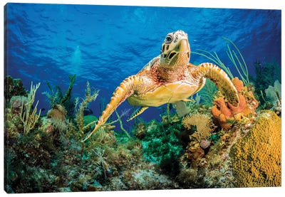 Hawksbill Turtle Swimming Through Caribbean Reef Canvas Art Print