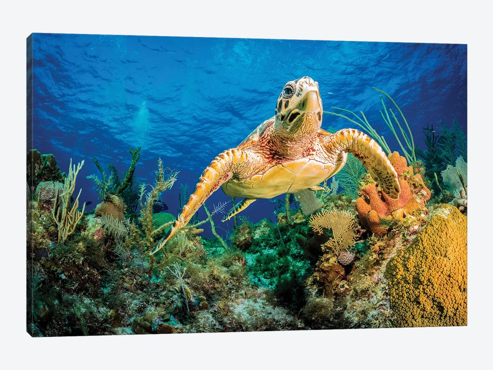 Hawksbill Turtle Swimming Through Caribbean Reef by Jan Abadschieff 1-piece Canvas Artwork