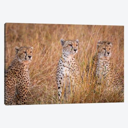 Cheetah Alpine Glow 3-Piece Canvas #OXM3626} by Jeffrey C. Sink Canvas Artwork